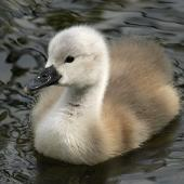 Mute swan. Young cygnet. Wanganui, November 2012. Image © Ormond Torr by Ormond Torr