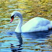 Mute swan. Adult. Whanganui, August 2008. Image © Alex Scott by Alex Scott