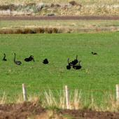 Black swan. Flock feeding on pasture. Canterbury, July 2010. Image © Peter Reese by Peter Reese