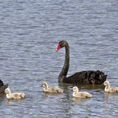 Black swan. Adult pair with cygnets. Nelson sewage ponds, September 2015. Image © Rebecca Bowater by Rebecca Bowater FPSNZ AFIAP www.floraandfauna.co.nz