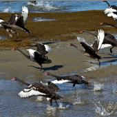 Black swan. Adults taking flight. Pakawau Beach, Golden Bay, March 2014. Image © Rebecca Bowater by Rebecca Bowater FPSNZ AFIAP www.floraandfauna.co.nz