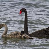 Black swan. Parent with juvenile.. Hamurana Springs, October 2012. Image © Raewyn Adams by Raewyn Adams