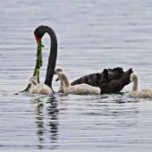 Black swan. Adult feeding cygnets. Lake Rotoiti, June 21012. Image © Raewyn Adams by Raewyn Adams