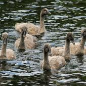 Black swan. Cygnets on water. Wanganui, October 2011. Image © Ormond Torr by Ormond Torr