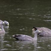 Cape Barren goose. Adults swimming. Serendip Sanctuary, Lara, Victoria, Australia. Image © Sonja Ross by Sonja Ross