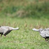 Cape Barren goose. Adults fighting. Rakaia, January 2016. Image © Adam Higgins by Adam Higgins Photo courtesy of AHiggins Photography - www.ahigginsphotography.com.au