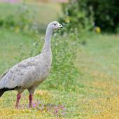 Cape Barren goose. Adult. Western Treatment Plant, Victoria, Australia, November 2017. Image © Mark Lethlean by Mark Lethlean