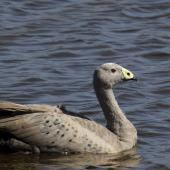 Cape Barren goose. Adult swimming. Travis Wetland,  Christchurch, February 2019. Image © Grahame Bell by Grahame Bell