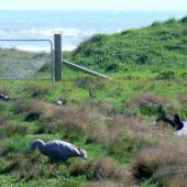 Cape Barren goose. Adult with head lowered. Hokitika sewage ponds, March 2011. Image © Joke Baars by Joke Baars