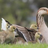 Greylag goose. Adult with young. Anderson Park, Taradale, Napier, October 2011. Image © Adam Clarke by Adam Clarke