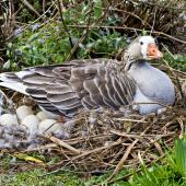 Greylag goose. Feral female on nest. Hamurana Springs, September 2012. Image © Raewyn Adams by Raewyn Adams