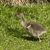 Greylag goose. Domestic pilgrim gosling. Katikati, October 2011. Image © Raewyn Adams by Raewyn Adams