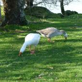 Greylag goose. Pair grazing. Lake Rotorua, August 2011. Image © Joke Baars by Joke Baars