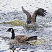 Canada goose. Aggressive chasing on water. Tauranga, March 2012. Image © Raewyn Adams by Raewyn Adams