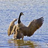 Canada goose. Adult beating its wings. Tauranga, July 2012. Image © Raewyn Adams by Raewyn Adams