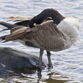 Canada goose. Adult preening. Tauranga, February 2012. Image © Raewyn Adams by Raewyn Adams