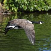 Canada goose. Dorsal view of adult in flight. Waikanae Beach lagoon, April 2011. Image © Phil Battley by Phil Battley