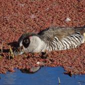 Pink-eared duck. Adult feeding amongst azolla. Canberra, Australia, May 2017. Image © R.M. by R.M.