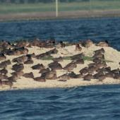 Pink-eared duck. Only New Zealand record (centre front), with other ducks and Caspian terns. Mangere, July 1990. Image © Alan Tennyson by Alan Tennyson