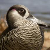 Pink-eared duck. Close-up of adult head. Perth, Western Australia, December 2006. Image © Philip Griffin by Philip Griffin