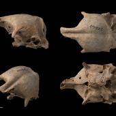 New Zealand musk duck. Composite image, four views of a cranium. Te Papa S.022160. Poukawa, Hawke's Bay. Image © Te Papa