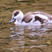 Paradise shelduck. Duckling. Korokoro dam, Belmont Regional Park, November 2015. Image © Paul Le Roy by Paul Le Roy