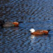 Paradise shelduck. Pair on water. Wairarapa, August 2009. Image © Peter Reese by Peter Reese