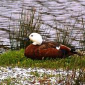 Paradise shelduck. Adult female at rest. Pauatahanui Inlet, Porirua City, November 2006. Image © Ian Armitage by Ian Armitage