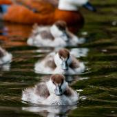 Paradise shelduck. Ducklings (with adult female in background). Dunedin Botanic Gardens, November 2013. Image © Nathan Hill by Nathan Hill
