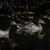 Australian wood duck. Two females. Waimea Lagoon, April 2016. Image © Amber Calman by Amber Calman