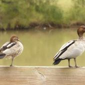Australian wood duck. Adult pair, female on left. Lake Gillawarna, Sydney, April 2016. Image © Heather Smithers by Heather Smithers