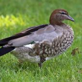 Australian wood duck. Adult female. Sydney,  New South Wales,  Australia, October 2015. Image © Duncan Watson by Duncan Watson