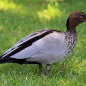 Australian wood duck. Immature male. Sydney,  New South Wales,  Australia, October 2015. Image © Duncan Watson by Duncan Watson