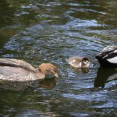 Australian wood duck. Adult pair with chick. Sydney,  New South Wales,  Australia, October 2015. Image © Duncan Watson by Duncan Watson