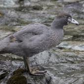 Blue duck. Fledgling. Routeburn north branch, February 2016. Image © Ron Enzler by Ron Enzler http://www.therouteburntrack.com