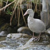 Blue duck. Leucistic adult. Whakapanui Stream, Tongariro National Park, October 2014. Image © Adam Clarke by Adam Clarke