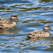 Grey teal. Adult pair. Waiau River, Manapouri, January 2017. Image © Anja Köhler by Anja Köhler