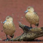 Grey teal. Adult. Newcastle,  New South Wales, February 2015. Image © Mark Lethlean by Mark Lethlean