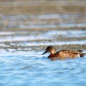 Chestnut teal. Immature male. Manawatu River estuary, May 2002. Image © Alex Scott by Alex Scott