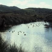Brown teal. Adult flock on water. Great Barrier Island, March 1981. Image © Department of Conservation ( image ref: 10026614 ) by Chris Green Department of Conservation  Courtesy of Department of Conservation