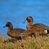 Brown teal. Adult pair, female on left. Tawharanui Regional Park, April 2015. Image © Les Feasey by Les Feasey