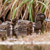 Brown teal. Female with 5 ducklings . Man made pond at Ngunguru, Northland, October 2014. Image © Malcolm Pullman by Malcolm Pullman www.pullmanphotography.co.nz