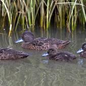 Brown teal. Adult pair and 2 juveniles. Woolleys Bay, Northland, December 2014. Image © Malcolm Pullman by Malcolm Pullman www.pullmanphotography.co.nz