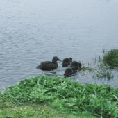 Auckland Island teal. Female with 3 ducklings. Enderby Island, Auckland Islands. Image © Department of Conservation ( image ref: 10064729 ) by Nadine Gibbs Department of Conservation  Courtesy of Department of Conservation