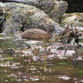 Campbell Island teal. Adult feeding in tidal zone. Perseverance Harbour, Campbell Island, December 2011. Image © Department of Conservation  by Rob Wardle