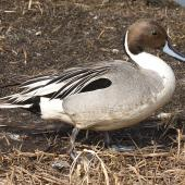 Northern pintail. Male in breeding plumage. Anadyr, Chukotka, May 2008. Image © Sergey Golubev by Sergey Golubev