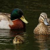 Mallard. Male, female and duckling. Wanganui, September 2010. Image © Ormond Torr by Ormond Torr