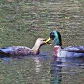 Mallard. Head-bobbing courtship display. Male on right. Tauranga, May 2012. Image © Raewyn Adams by Raewyn Adams