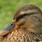 Mallard. Adult female. Wanganui, June 2011. Image © Ormond Torr by Ormond Torr