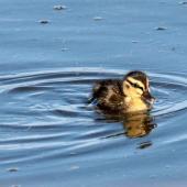 Mallard. Duckling. Te Awanga Lagoon, August 2009. Image © Dick Porter by Dick Porter